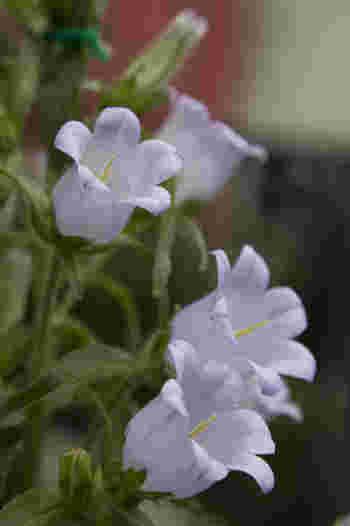かわいい形をしたツリガネソウの花は色違いで楽しみたい花でもあります。意外にも寒さには強く、よほどの寒さでない限りは外でも管理できます。