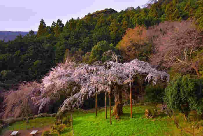 長興山紹太寺には、江戸時代に植樹された樹齢約340年、幹回約4.7メートル、高さ約13メートルの枝垂れ桜があります。3月下旬から4月上旬頃にかけて開花するこの枝垂れ桜は「かながわの銘木100選」「小田原市天然記念物」にも選定されており、参拝者を魅了してやみません。