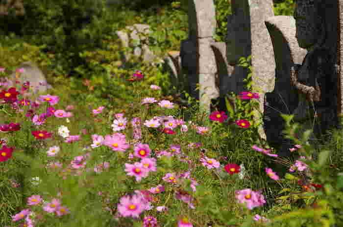 般若寺境内には30種類・約15万本のコスモスが植栽されています。濃淡ピンク、赤、白など色とりどりのコスモスは、秋の境内に彩りを与えています。