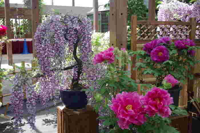 長居植物園には、ボタン園で、地植えされている牡丹だけでなく、鉢植えの牡丹も栽培されています。牡丹と同時期に開花する藤の花が持つ繊細な美しさと、洗練された優美さを持つ牡丹が織りなす素晴らしい植物鑑賞を楽しむことができます。