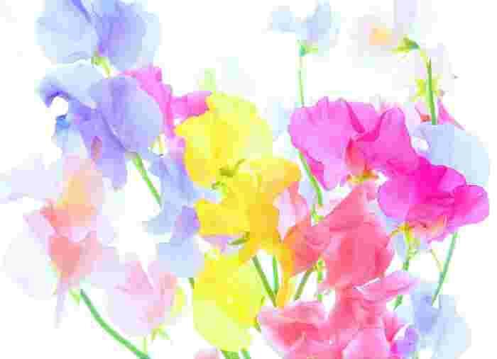 暖色系から寒色系まで、カラーバリエーションの豊富な「スイートピー」。贈る相手のイメージカラーで選んでも♪