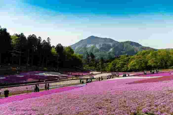 羊山公園は、関東地方でも指折りの芝桜の名所として知られています。武甲山を背景になだらかな丘陵地帯に造られた「芝桜の丘」には、白、濃淡ピンクなどの芝桜9種類、約40万株が植栽されており、大地を一面に覆いつくします。