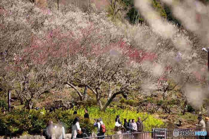 「幕山」の山麓斜面に、約4000本の紅白の梅がじゅうたんのように咲き乱れ、園内は梅の香りに包まれる。  住所:神奈川県足柄下郡湯河原町鍛冶屋 電話番号:0465-63-2111(湯河原町観光課) アクセス:湯河原駅から鍛冶屋行きバスで森下公園前下車 徒歩約30分