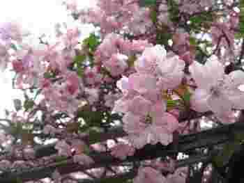 中でも特に有名なのは「海棠(カイドウ)」。鎌倉には海棠が美しい寺院が他にもありますが、ここ「光則寺」の本堂前に植えられた樹齢200年の枯木を超えるものはありません。 国の天然記念物・鎌倉市の名木百選にも指定されています。海棠の見頃は、例年5月上旬頃。5月下旬~6月にかけては、菖蒲(ショウブ)が花開きます。