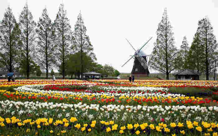 あけぼの山農業公園は、柏市制施行40周年を記念して1995年に開園された柏市立が運営・管理をする公園です。約18ヘクタールの広大な敷地にある風車広場には四季折々に応じて季節の花々が植えられており、毎年春になると約16万本のチューリップが開花します。