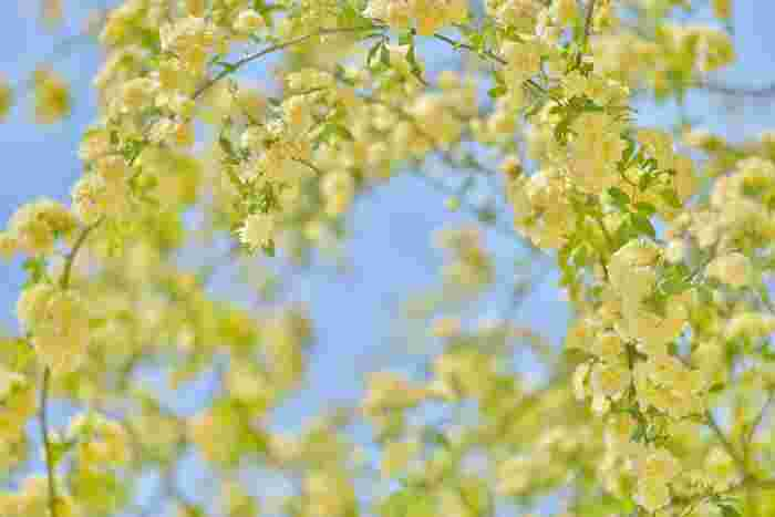 モッコウバラの花言葉は「純潔」「初恋」「素朴な美」、そして「あなたにふさわしい人」などがあります。あなたにふさわしい人とは、つる性の植物が何かに寄り添って伸びていくことからきているのだとか。