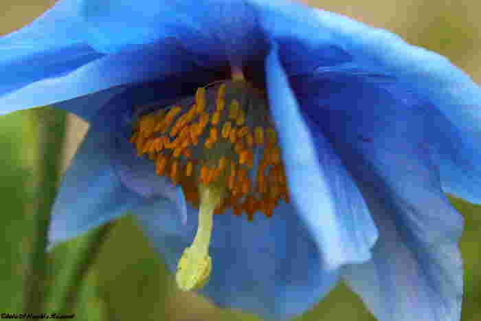 初夏になると、ヒマラヤ原産の高山植物「ヒマラヤの青いケシ」が見頃を迎えます。「ヒマラヤンブルー」と呼ばれる深みのある青色は、繊細かつ優美で神秘的な美しさです。