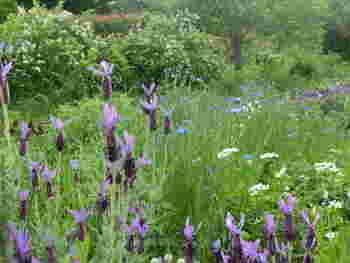 「グロッソ」という種類のラベンダーは、ポプリにおすすめ。ガーデン内のハーブは摘み取ることはできませんが、そっと葉っぱに触れて香りを感じてみましょう。