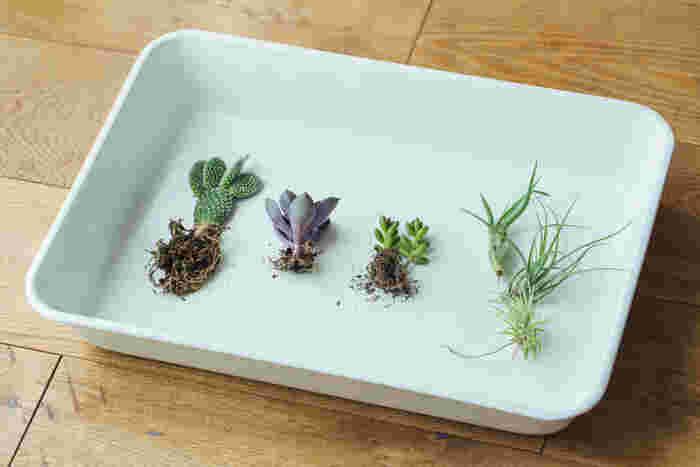 左から、うちわサボテン、多肉植物(パールフォンニュルンベルグ)、多肉植物(虹の玉)、エアプランツ。  今回は、比較的お世話しやすい植物で植えていきます。 うちわサボテンは、針が少なく育てやすいのだそう。グリーンとパープルの色合いが絶妙なパールフォンニュルンベルグは、上のアングルから見ると花のようなシルエットが楽しめます。ぷくぷくとしたフォルムが魅力の虹の玉。土がなくても育つエアプランツの4種類を使います。