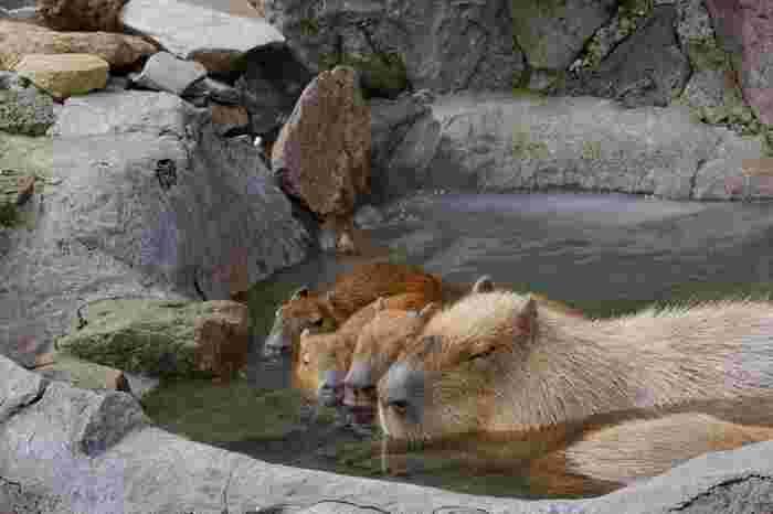 冬と一緒にカピバラ温泉がやってきた!さぁ癒されに行きましょう♪