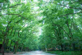 下鴨神社の参道に広がる「糺の森(ただすのもり)」。 紀元前3世紀頃の原生林と同じ植生を持つと言われているこの森は、言葉ではいい表せないような美しさと神聖な雰囲気に包まれています。