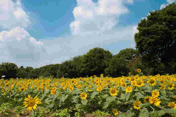 続いてご紹介するのは国営昭和記念公園。およそ5万本のひまわりは、例年7月下旬から8月上旬に見頃を迎えます。この時期には夏ならではのイベントも多数開催されているので、ぜひスケジュールをチェックしてみてくださいね*