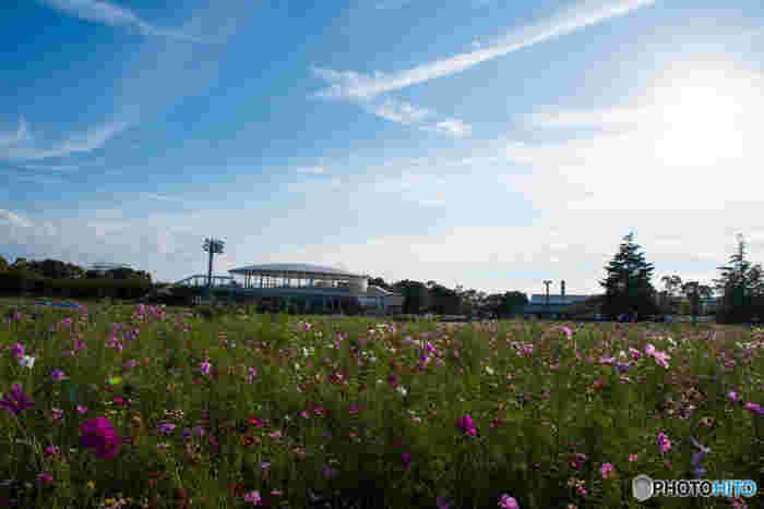 秋になると、花ひろばが一面のコスモス畑となり、春とはまた異なる風情が漂います。