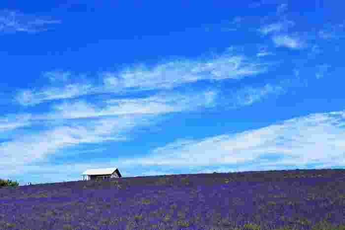 心地よい初夏の空気、ラベンダー畑を包み込むよい香、地平線が見える丘、抜けるような青空。。。かんのファームを訪れると、まるで絵本の世界に迷い込んだかのような錯覚さえも感じます。