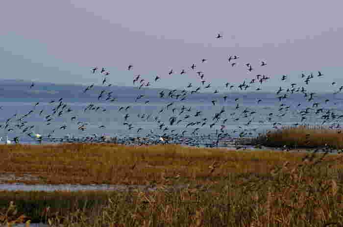 四季折々で美しい姿を見せてくれる能取湖は野鳥の宝庫です。広大な湖面を鳥たちが一斉にはばたく様は圧巻で、迫力満点です。