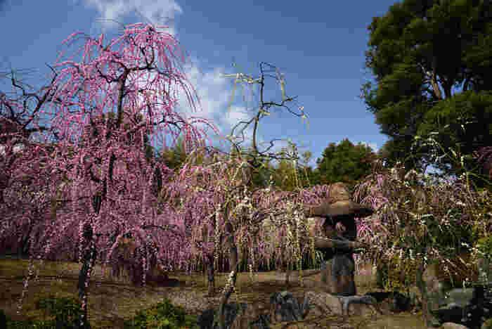 「源氏物語花の庭」と称される城南宮境内の神苑楽水苑には、約150本に及ぶ紅白の枝垂れ梅が満開に咲き誇ります。