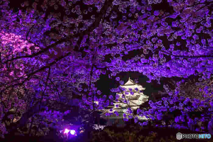姫路城では、夜になるとライトアップが行われます。光を浴びて輝く桜が、漆黒の闇夜に浮かび上がる白い城郭の美しさを引き立て、夜の姫路城は幻想的な雰囲気に包まれます。