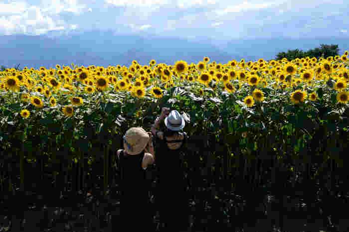 ひまわりのバックには南アルプスや八ヶ岳、富士山が広がります。この景色が楽しめるのは明野だけ。毎年夏に「明野サンフラワーフェス」が開催され、多くの方が訪れます。(2018年は、7月21日~8月19日)太陽に向かって咲くひまわりと青空はカメラ女子でなくても写真に収めたくなる美しさ。