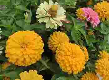 茎の長さは短い種類は20cmくらいのものから、長い種類は1mくらいのものまであるので、花壇や鉢など植える場所に最適なものを選べます。一輪挿しでも美しい。