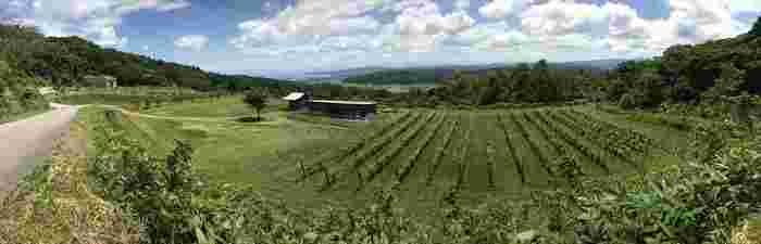 山羊さんたちの住まいである建物の横には葡萄畑が広がっています。 元は魚屋だった「釣屋 魚問屋」の次男・釣誠二さんの行きついた先がワインづくりだったのだとか。