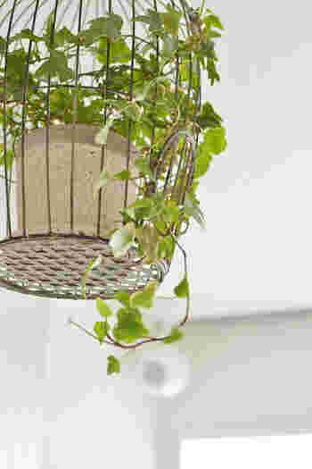 手の平のようなかわいらしい葉のアイビー。ツル状の植物なので、ハンギングなどで高いところから吊るすのも◎室内でも屋外でも育つ生命力のある植物です。水耕栽培もできるので伸びてきたら少し切って水刺しにし、インテリアとして楽しむのもおすすめ。