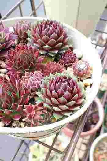 センペルビブム  赤い色と形が美しい多肉植物。寒さに強いので、冬も外で大丈夫。
