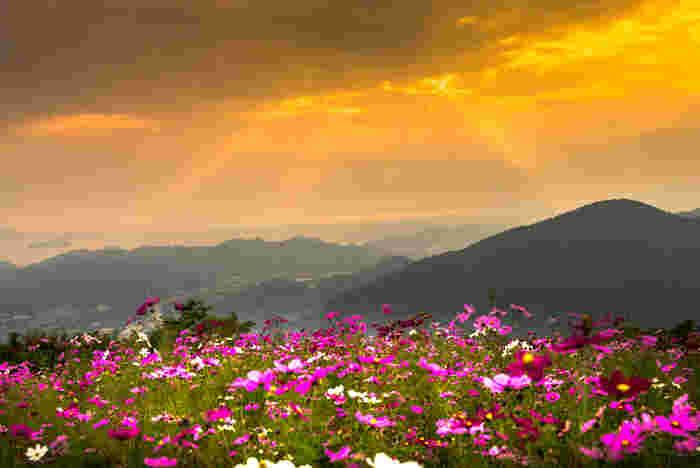 鷲ヶ峰コスモスパークから眺める夕景の素晴らしさは傑出しています。風が吹くたびに揺れ動く可憐なコスモス群、紀伊山脈の山容、遠くに見える海、夕陽に照らされて赤く染まった雲が織りなす景色は絶景そのものです。