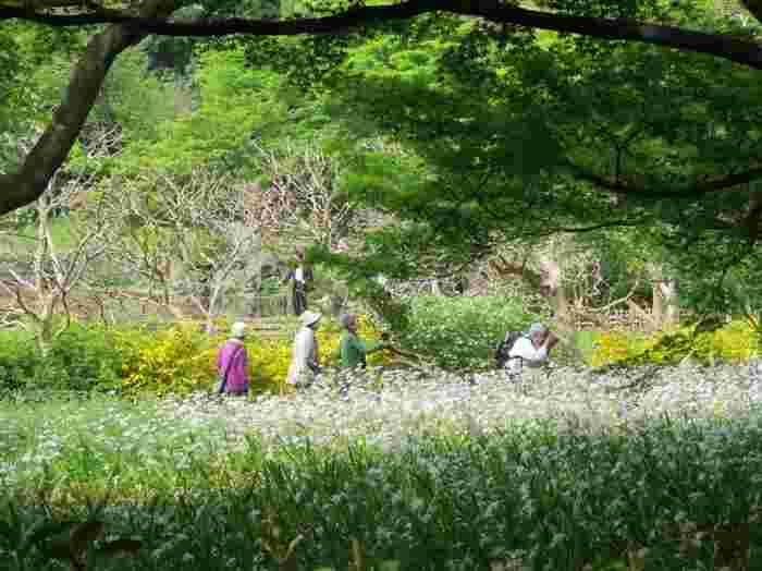 それは、「皇居」という場所が、江戸期以降の貴重な生態系を保全しつつ、自然環境を豊かに育みながら維持してきたという、類まれなる地であることを意味しているのです。【『シャガ』と『山吹』が咲き乱れる4月下旬の「皇居東御苑」】