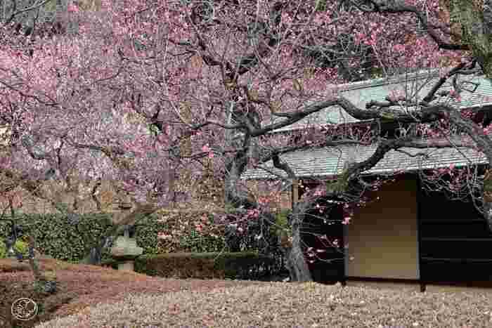 ■2月下旬~3月上旬 梅林の梅が最も綺麗な時期です。園内の茶室楽羽亭の近くは、数多くの梅の花が咲き誇ります。
