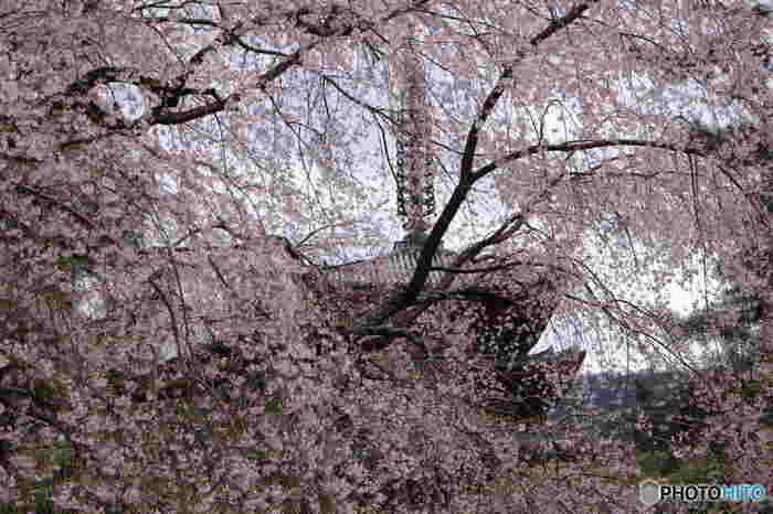京都屈指の桜の名所である醍醐寺境内には、ソメイヨシノ、シダレザクラ、ヤマザクラなど約800本を超える桜が植栽されています。シダレザクラの巨木が満開に花を咲かせ、視界を桜色で染める様は、天女の羽衣のような美しさです。