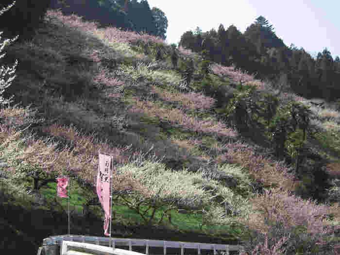 賀名生梅林には、紅梅、白梅だけでなく様々な品種の梅が植栽されています。山里全体が薄桃色に染まる中、なだらかな丘陵地帯を歩くのは気持ちよく、ちょっとしたハイキング気分を味わうことができます。