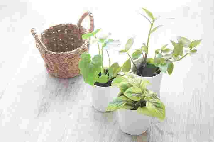 園芸店だけでなく、最近では100円ショップでもさまざまな種類の観葉植物が並ぶようになりました。1年を通して売られていますが、春は特にたくさんの種類が店頭に並ぶこともあり、育ててみたかった品種や自分の好みの品種に出会いやすくなります。選択肢が増える春は、観葉植物を育て始めるのに適している季節です。