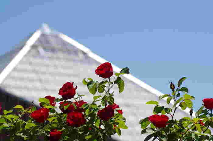 いわみざわ公園は、北海道岩見沢市にある広大な都市公園です。183ヘクタールという広さの中には、北海道で一番大きい「バラ園」や、観覧車などがある「北海道グリーンランド」、フェスやライブなどイベントが行われる「野外音楽堂キタオン」などがあり、一日楽しめます。