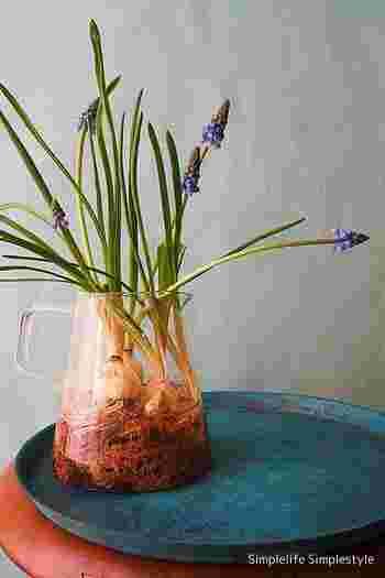 中が見えることを活かして、水栽培で育ててみるのも良いですね!