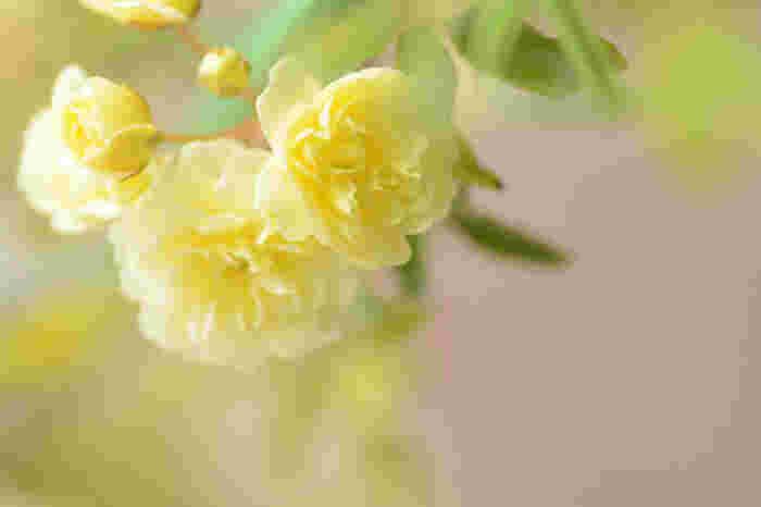 八重の黄モッコウ(ロサ・バンクシア・ルテア)は、秋篠宮家の眞子内親王のお印だそうです。