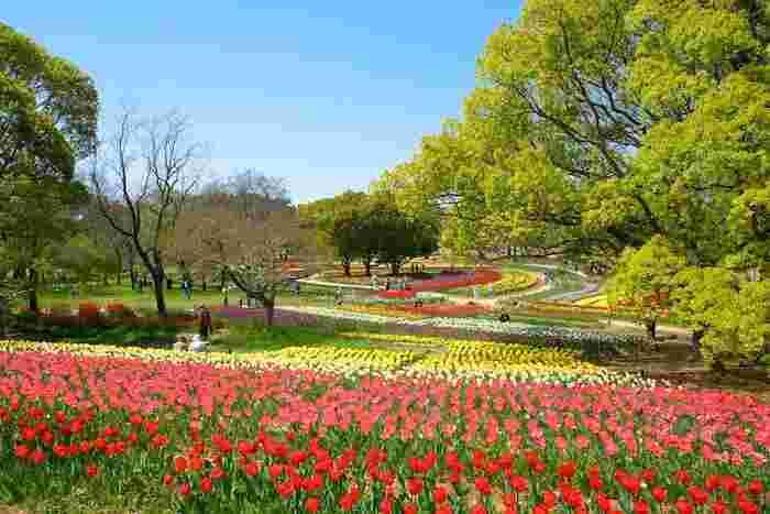 なだらかな丘陵地帯となっている大花壇に赤、白、黄色のチューリップが整然と咲いている様子を眺めていると、不思議と童謡「チューリップの花」を口ずさみたくなる気持ちになってくるはずです。