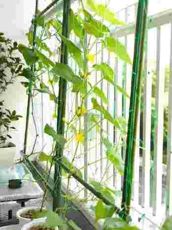 つるがぐんぐん伸びて大きな実がなるきゅうりやゴーヤは、ベランダなど広いスペースで栽培するのがおすすめ。水分を多く含むみずみずしい野菜たちなので、乾燥させないように気をつけましょう。