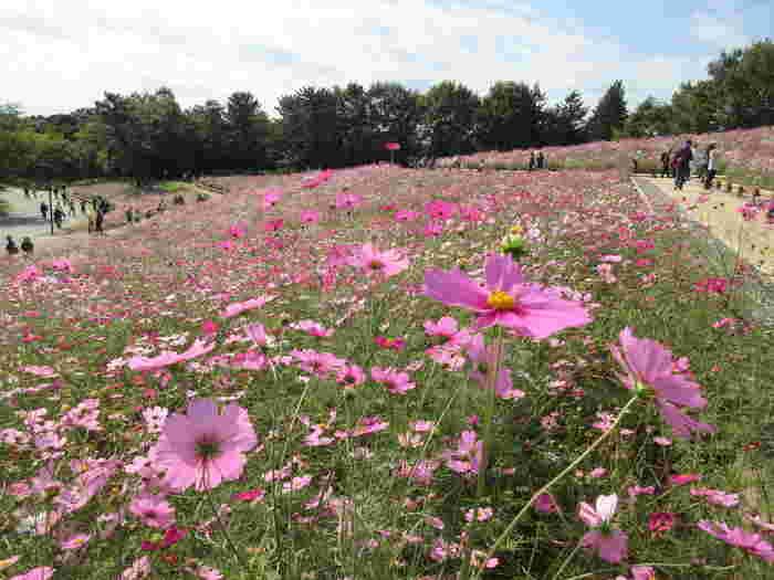 イチョウ並木をながめた後は、秋の花・コスモスを鑑賞するのもおすすめ。およそ400万本ものコスモスの愛らしい姿は、訪れた人の心をなごませてくれます。園内にはフードの売店も充実しているので、手ぶらでピクニック気分を楽しむことができます。