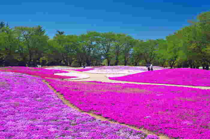 東武トレジャーガーデンは、豊かな自然環境にめぐまれた館林市に立地する花の庭園です。広大な敷地には、約25万株の芝桜が植栽されている芝桜ガーデンがあり、訪れる人々を美しい景色で迎え入れてくれます。