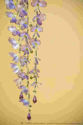 花房が枝垂れる様子は胡蝶が舞い飛ぶ様にも似て。 Photo by Ryoukan Abe (www.ryoukan-abe.com)