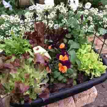 葉野菜には色々な形・色があります。何種類か組み合わせて植えると、変化が出てお洒落にきまります♪ 組み合わせる葉野菜は季節によって手に入るものでお好きなものを。ただ、繁殖力が特に強いものと弱いものを組み合わせる事は避けてください☆