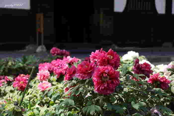 建仁寺では、境内の法堂を取り囲むように、牡丹が栽培されています。毎年4月下旬から5月上旬にかけて牡丹は見ごろを迎え、風情ある寺院庭園の風景に華を添えています。