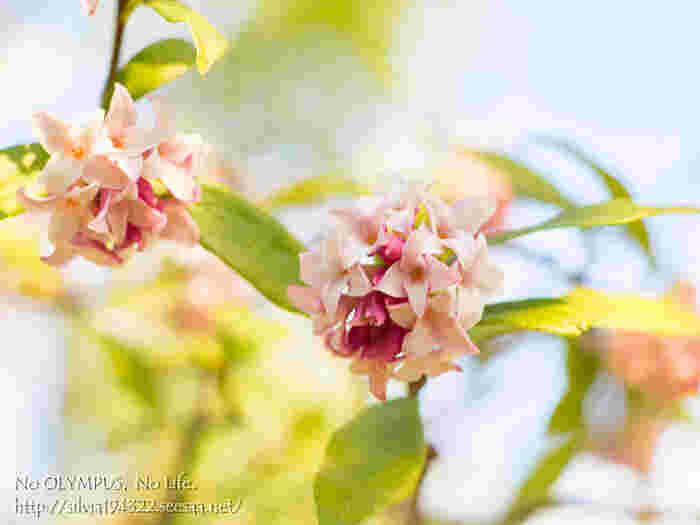 3月に入り、ようやく気温が上がりはじめた頃に香り高い花を咲かせ、春の訪れを実感させてくれるジンチョウゲ科ジンチョウゲ属の常緑低木。クチナシ、キンモクセイと並ぶ三大香木の1つで、その香りは最も遠くまで届くとされています。