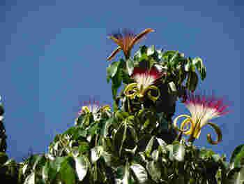 パキラの原産地は、熱帯地方の中南米。高温多湿という気候の中、スクスクと育っています。日本でパキラが育てやすいのは、気候が似ているからなんですね。
