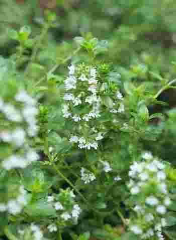 「タイム」も、上でご紹介した「ローズマリー」と同じく、性質によって、茎が立ち上がる「木立性」、地を這う「ほふく性」の2つの種類に分かれます。  品種は300以上ともいわれ、さまざまな香りや花姿などを楽しめます。  ベランダ栽培なら、縦にこんもりと茂る「木立性」ものがいいようです。とくに料理に適したコモンタイムやゴールデンレモンタイムなどがおすすめ。  地を這う「ほふく性」のものは、庭のグランドカバーに。