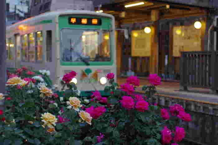 荒川車庫前~終点の三ノ輪橋の沿線には、「荒川バラの会」をはじめとしたボランティアの方々の手によって、色とりどりのバラが植えられています。 バラは荒川線のシンボルとなっていて、区をあげて緑化に取り組んでいるとのこと。初夏にはバラに彩られた「都電バラ号」が運行されています。