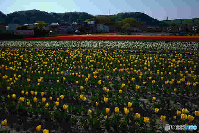 羽村市内にある唯一の水田、根がらみ前水田では、稲作の裏作を活かして約40万本のチューリップが栽培されています。