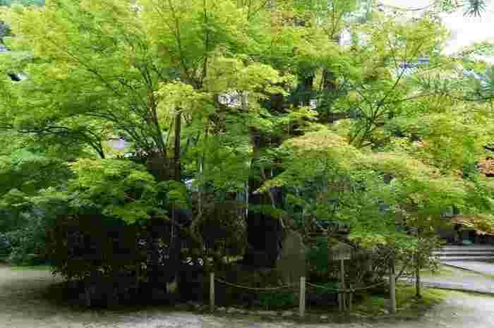 【本堂左手にある槇の木は、樹齢700年を数え、現存する日本最古のもの。】