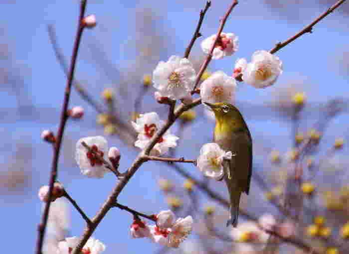 甘い梅の蜜を吸いにやってくる愛らしいメジロは、初春の訪れを私たちに告げているかのようです。