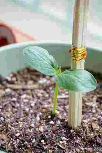 温度管理は少し難しいですが、種から自分で苗を育てることもできます。ポットやセルトレイに種を蒔いて30日~35日後、本葉が3~4枚出たら、生育の良い苗を選んでプランターに定植しましょう。